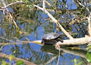 Diese Schildkröte lag entspannt auf einem Baumstamm in der Sonne. Sie war locker 20-25 cm lang